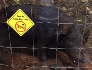 Hawaiian Pig closeup